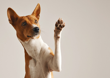 adorable-brown-white-basenji-dog-smiling-giving-high-five-isolated-white-370x265